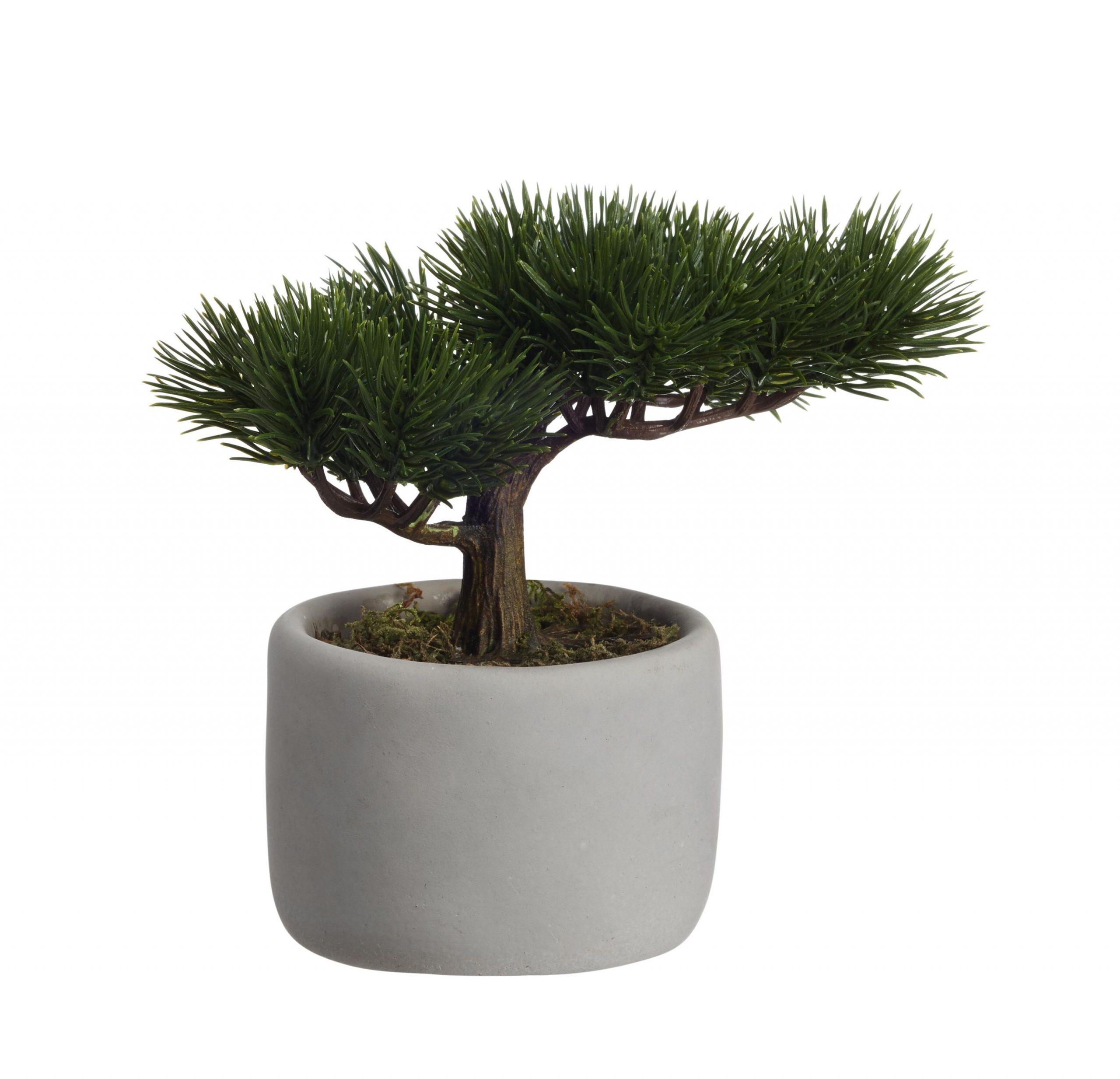 Image of Bonsai Mini Kiefer